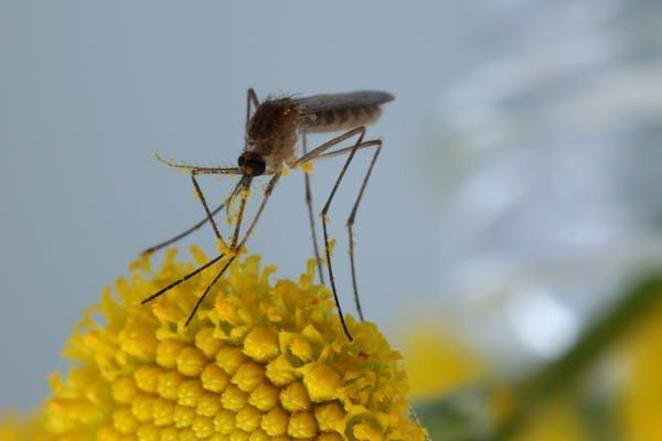 Um mosquito doméstico comum, Culex pipiens, coberto de pólen de tansy. Foto: Mike Hrabar