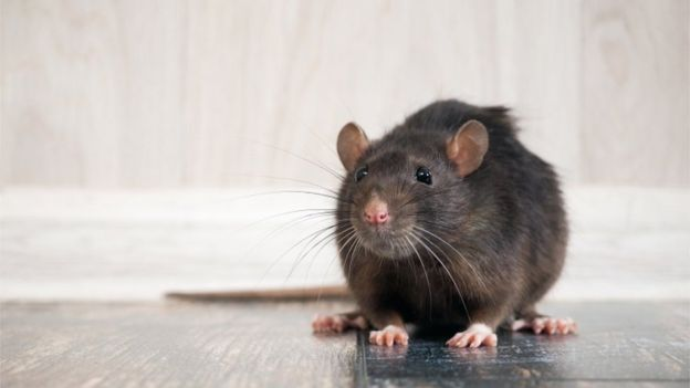 112504841 rat - Pragas e Eventos